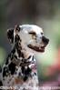 Miniature Dalmatian<br /> Stern Grove Dog Park<br /> San Francisco