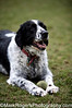 Cornelius<br /> Springer Spaniel<br /> Stern Grove - Pine Lake Dog Park, San Francisco