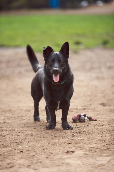 Shorty<br /> Shepherd Mix<br /> Upper Douglass Dog Park - San Francisco