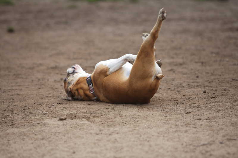 Puppy Pilates<br /> Maddie - Bulldog<br /> Upper Douglass Dog Park - San Francisco