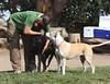 Al and Friends<br /> Black Labrador Retriever and Goldie (Pitbull)<br /> Upper Douglass Dog Park - San Francisco<br /> Dogtoberfest