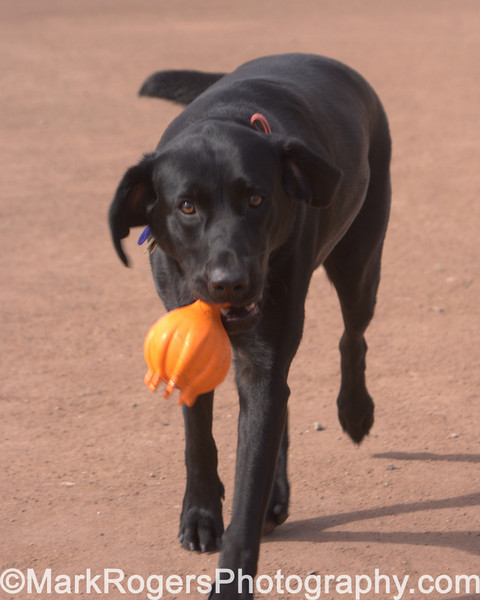 Ruby Retrieving<br /> Labrador Retriever