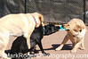 The Labs Have It<br /> Labrador Retrievers: Cody, Zoot and Stanley
