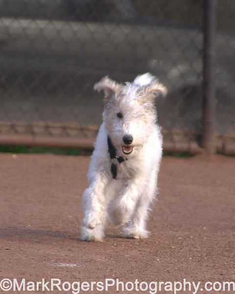Kizzy the Wire Fox Terrier