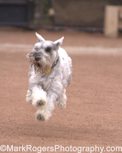 Jumping Jax<br /> <br /> Miniature Schnauzer