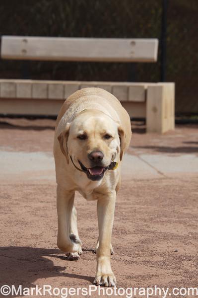 Wrigley<br /> Labrador Retriever