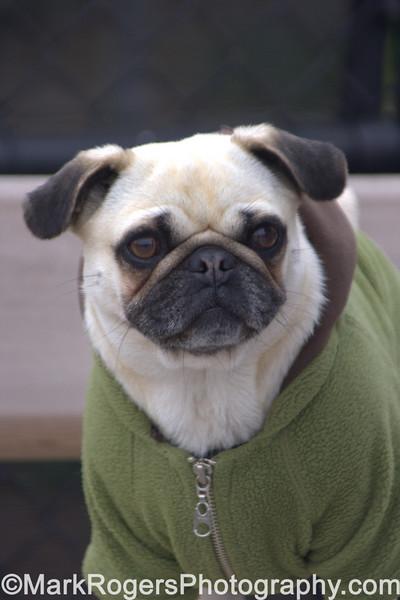 Puglet<br /> Pug