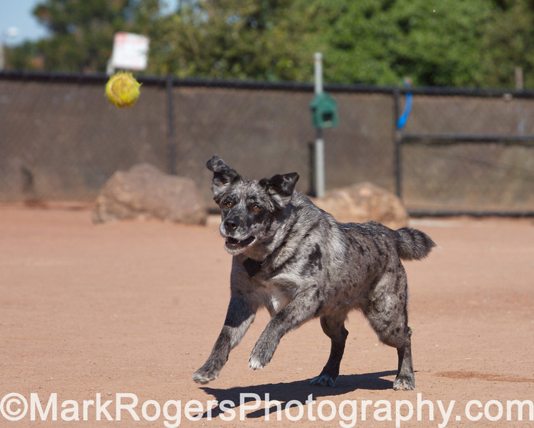 Sookie on the move<br /> Cattledog mix<br /> Walter Haas Dog Park - San Francisco