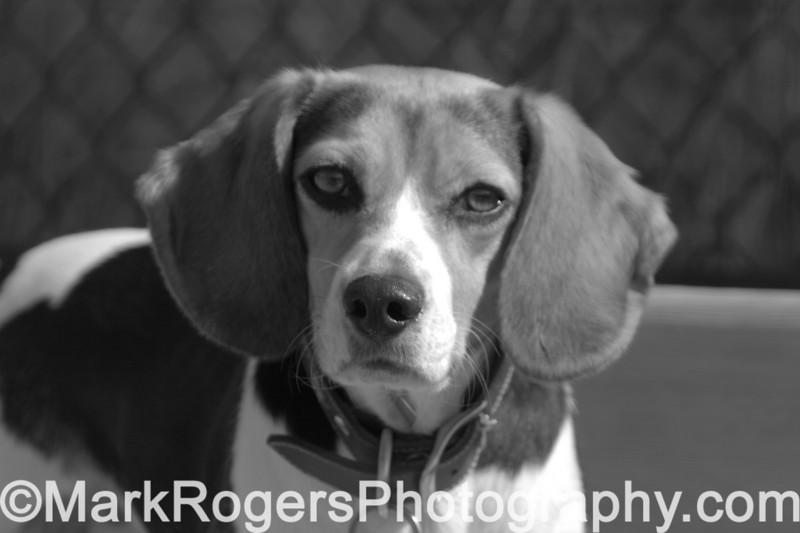 Arrow<br /> Beagle