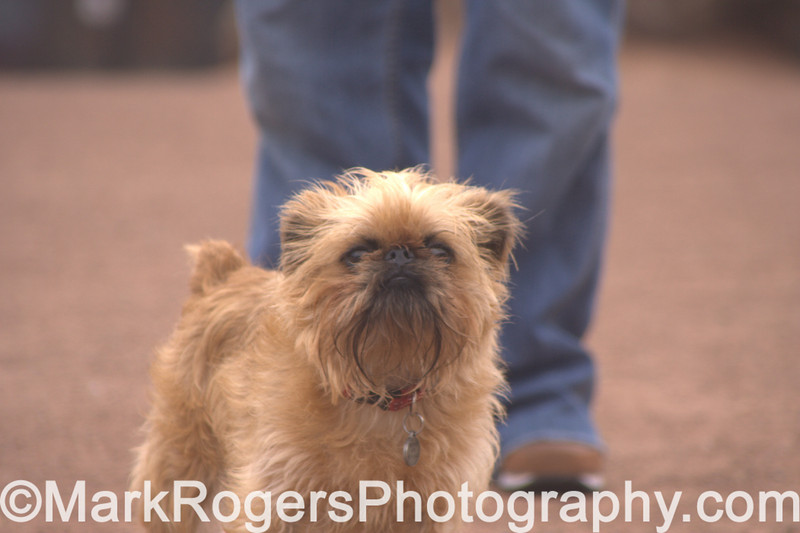 Sophie the Brussels Griffon