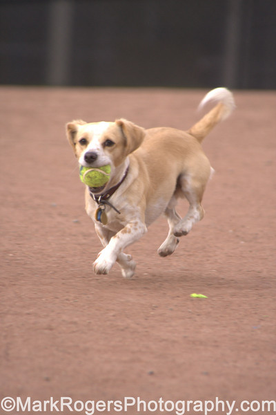 Clouseau<br /> Corgi Beagle Mix
