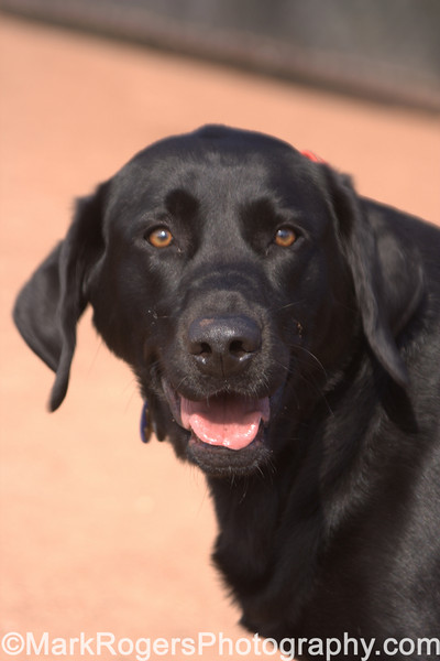 Ruby<br /> Labrador Retriever