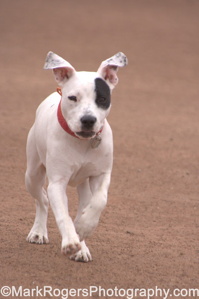 Lulu on the run<br /> <br /> American Pitbull Terrier