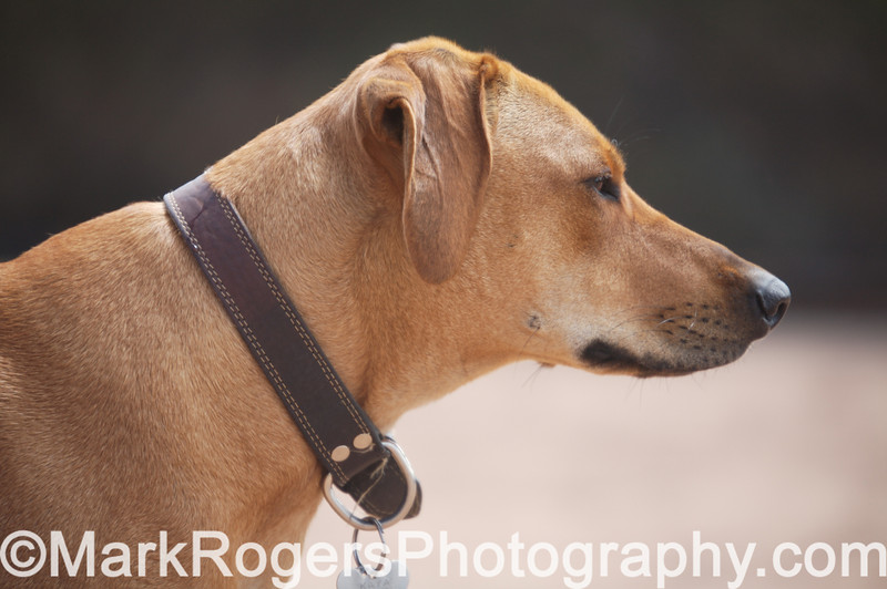 Kaya in Profile<br /> Rhodesian Ridgeback
