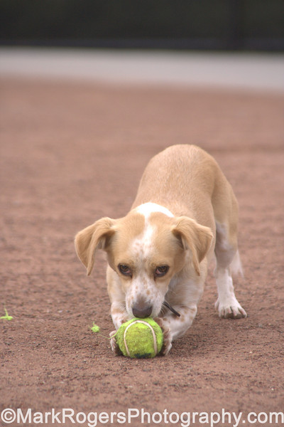 Clouseau vs The Ball<br /> Corgi Beagle Mix
