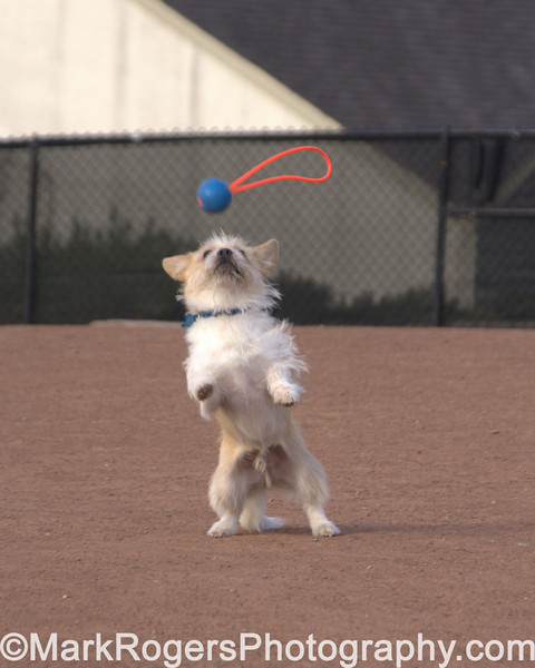Follow the bouncing ball<br /> <br /> Corgi Mix
