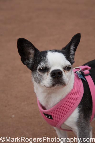Lola, is that a look of disdain I see<br /> Boston Terrier Mix