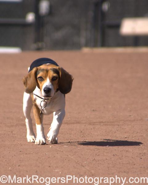 Arrow Approaching<br /> Beagle