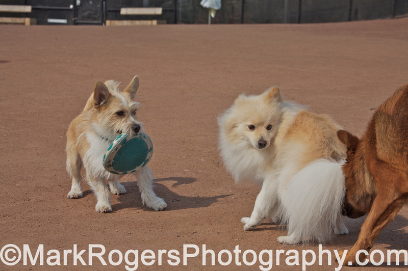 Bizzy, Halo and Chase<br /> Corgi Mix, American Eskimo Mix and German Shepherd Mix