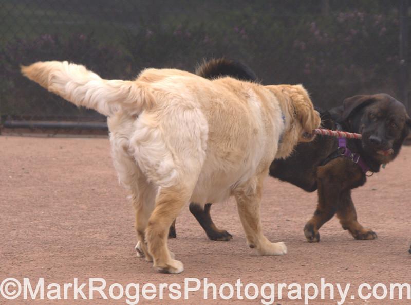 Dozer<br /> Bassett Hound Rottweiler Chow mIx and Labrador