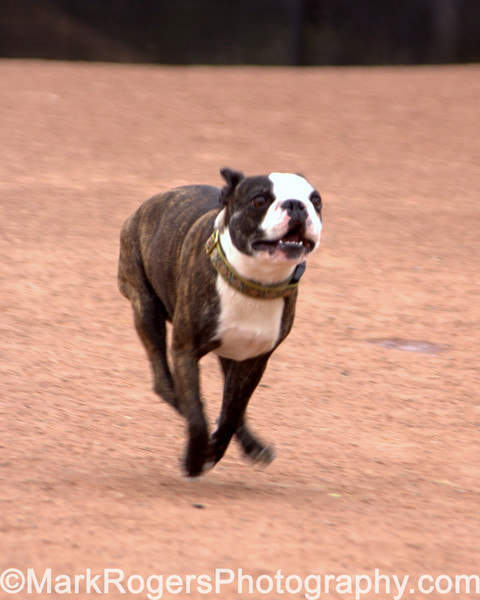 Hammee in motion<br /> <br /> Boston Terrier;