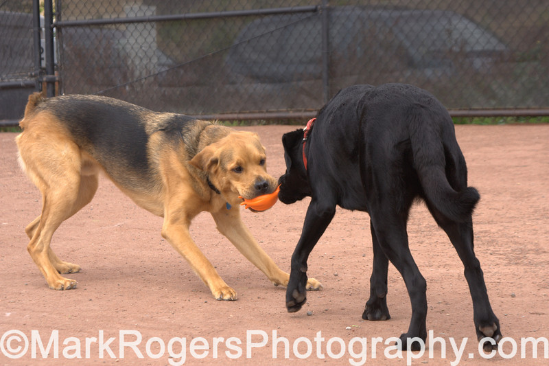 Charlie, Ruby and the Squid<br /> Chow-Rottweiller Mix, Labrador Retriever