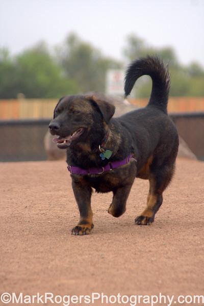 I am Dozer, hear me roar<br> Bassett Hound Rottweiler Chow mIx