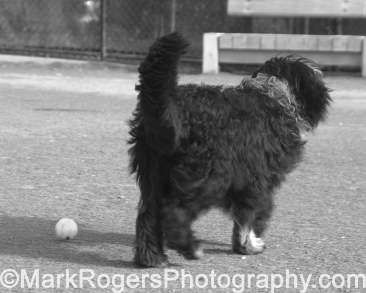 Elmo feigns lack of interest in the ball<br /> Bearded Collie Mix