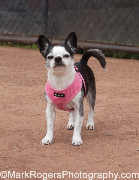 Lola<br /> Boston Terrier Mix