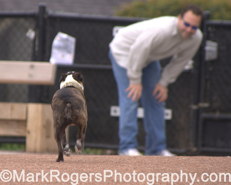Hammee heads toward dad<br /> Boston Terrier