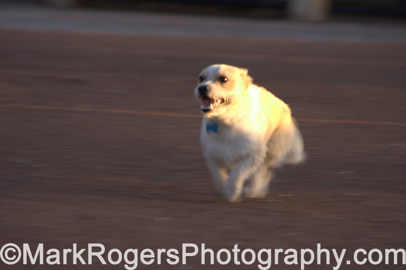Bizzy<br /> Corgi Terrier Mix