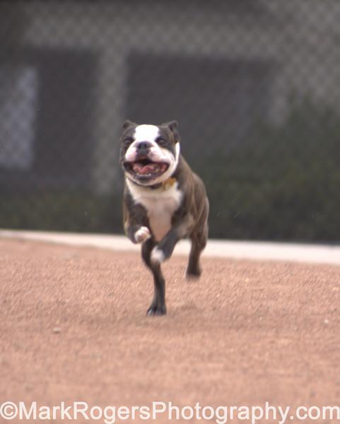 Man, that little guy can run. <br /> Hammee the Boston Terrier