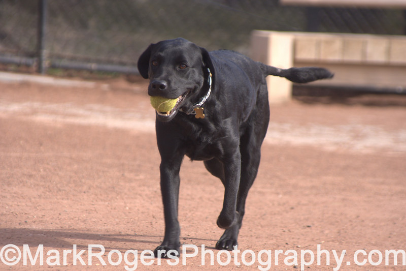 Zoot<br /> Labrador Retriever