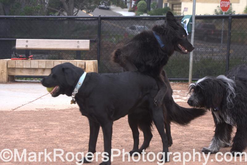 Three's a Crowd<br /> Zoot (Black Labrador), Shepherd Mix & Elmo (Bearded Collie Mix)