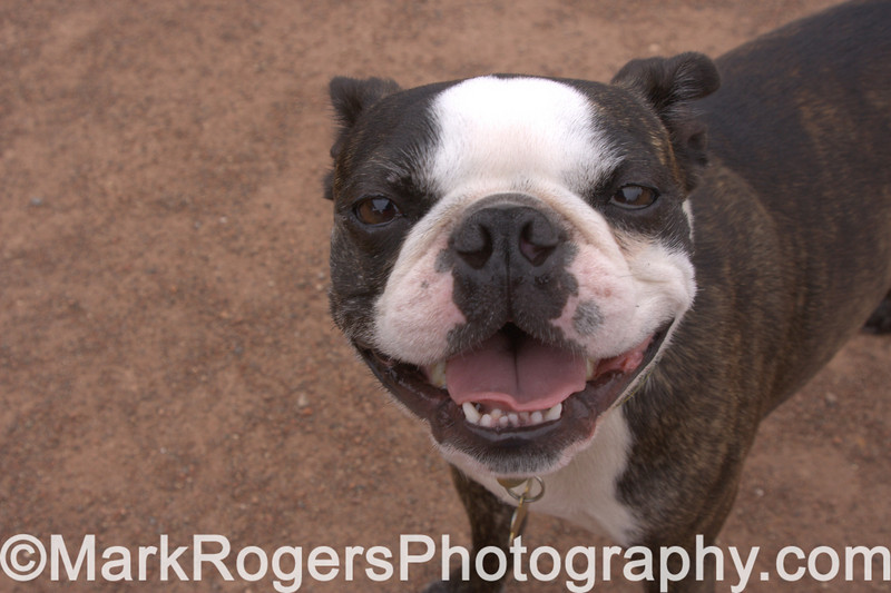 Hammee hams it up<br /> Boston Terrier