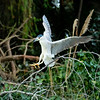 Black Crowned Night Heron (Adult)