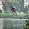 Black-Crowned Night Heron (adult)