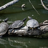 Red-eared Slider (left and right, Trachemys scripta elegans) and the Western Pond  Turtle (middle, Actinemys marmorata)