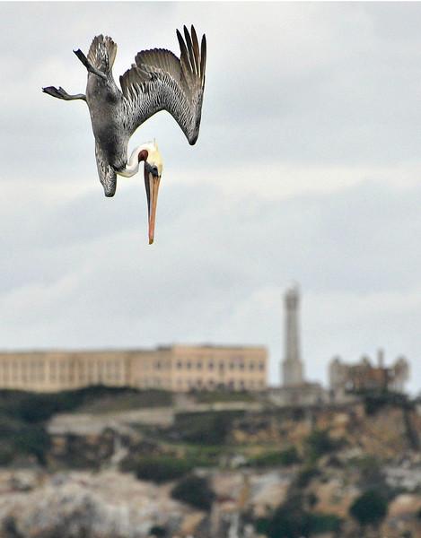 Alcatraz and diving Pelican 11x14 street