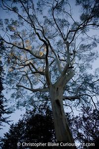 Buena Vista Park Tree 2