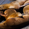 Sea lions at Pier 39.