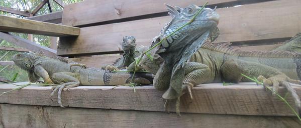 Looking Iguana