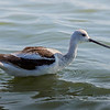 This American Avocet can often be found in the shallows of Peggy's Lake right after the turn and just past the nature trail.  When the tide is right, the depth is just right for wading birds and dabbling ducks.