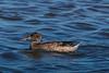 Female Northern Shoveler, a dabbling duck.