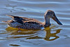 A female Northern Shoveler, a dabbling duck, and with all the shovelers there.  I didn't see one male.
