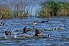 Female Ruddy Ducks taking off.