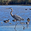 A Great Blue Heron fishing on the far side of the mud flat beyond the island.