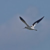 American Avocet in flight.