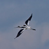 About a dozen of these guys working the canal between island and little bay.  American Avocet.
