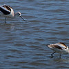 Two of the half-dozen American Avocet that were working the little channel between the Island and the auto-trial.
